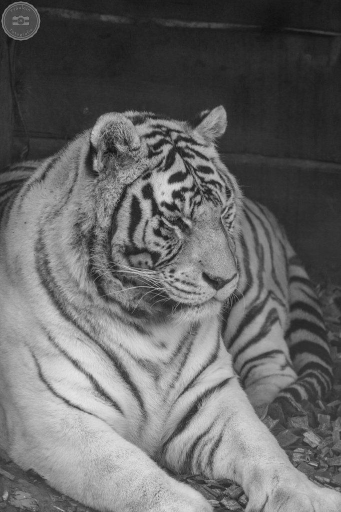 Weißer Tiger aus dem Zoo Aschersleben