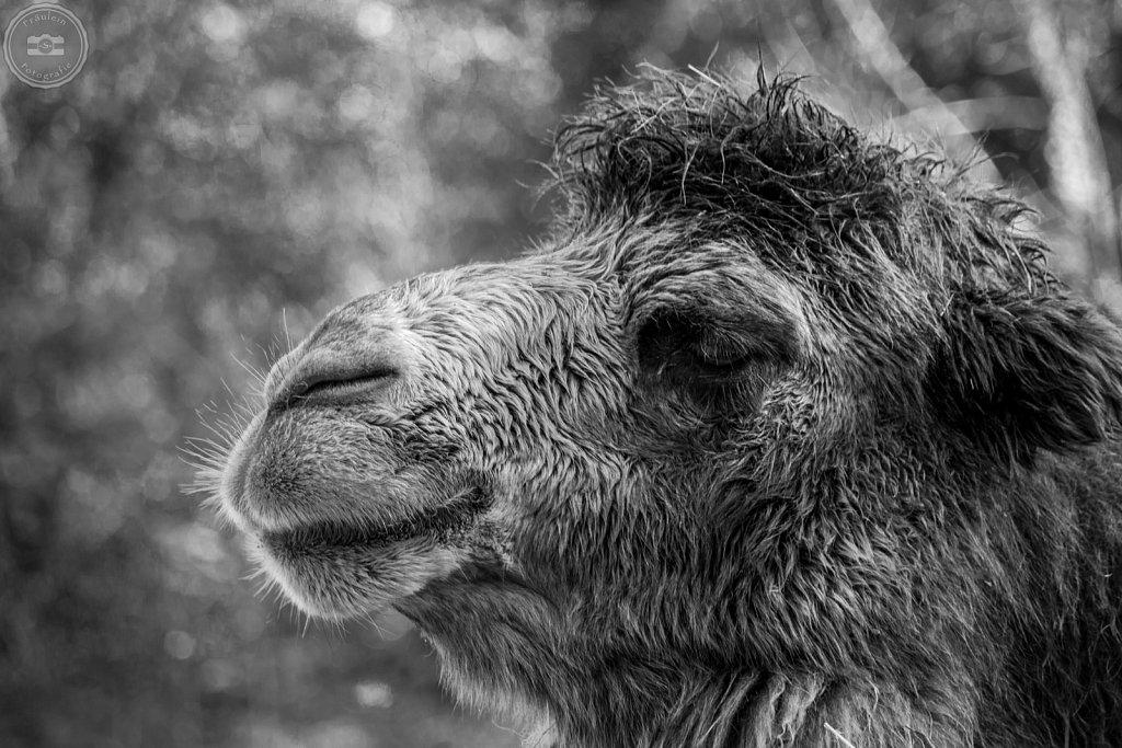 Lama aus dem Zoo Aschersleben